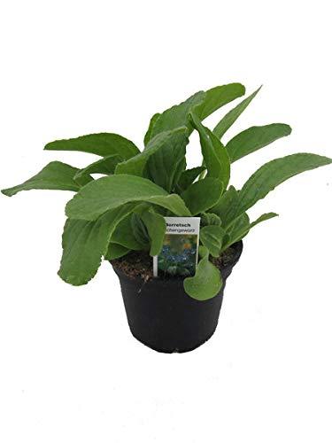Borretsch,Borago officinalis,Gurkenkraut, Marktfrische Pflanze