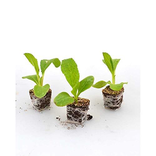 Kräuterpflanzen - Borretsch/Boris - Borago officinalis - 3 Pflanzen...