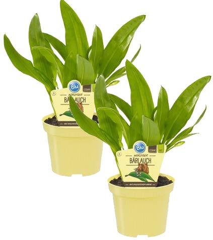 Bio Bärlauch, (Allium ursinum), Kräuter Pflanzen aus nachhaltigem...