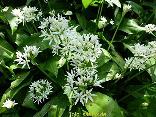 20 Blumenzwiebeln Alliumzwiebeln Allium ursinum ssp ursinum,...