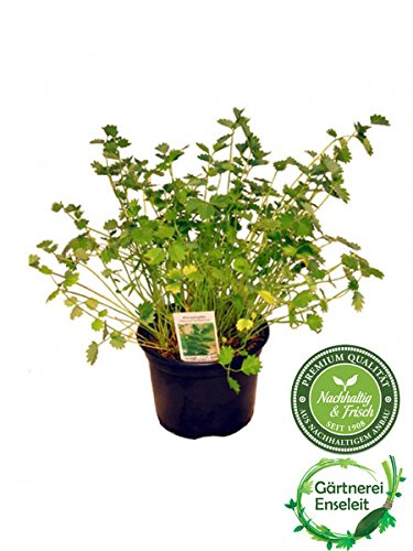 Pimpinelle im 12cm Topf, Kräuter Pflanze, Sanguisorba minor, frische...