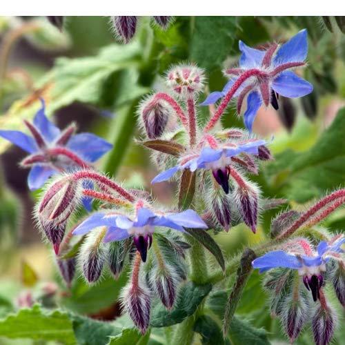 Borretsch 50 x Samen aus Portugal 100% Natursamen, handgepflückt und...