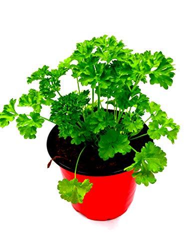 Krause Petersilie Petroselinum crispum 3stk./Kräuter Pflanze