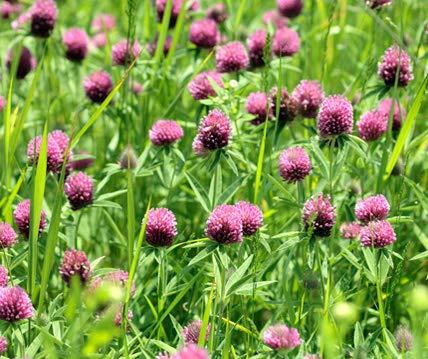 Rotklee Bodenkur von bobby-seeds, staudige Gründüngung/Futterpflanze...